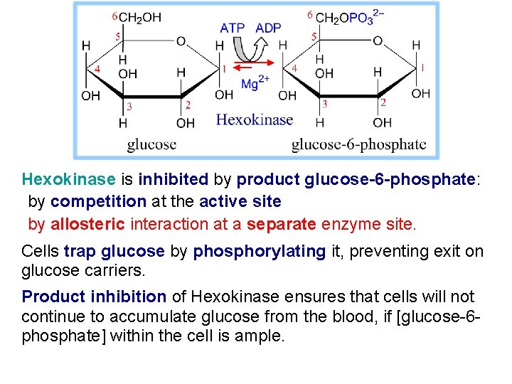 Hexokinase is inhibited by product glucose-6 -phosphate: by competition at the active site by