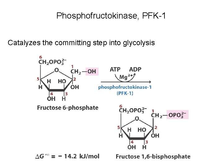 Phosphofructokinase, PFK-1 Catalyzes the committing step into glycolysis