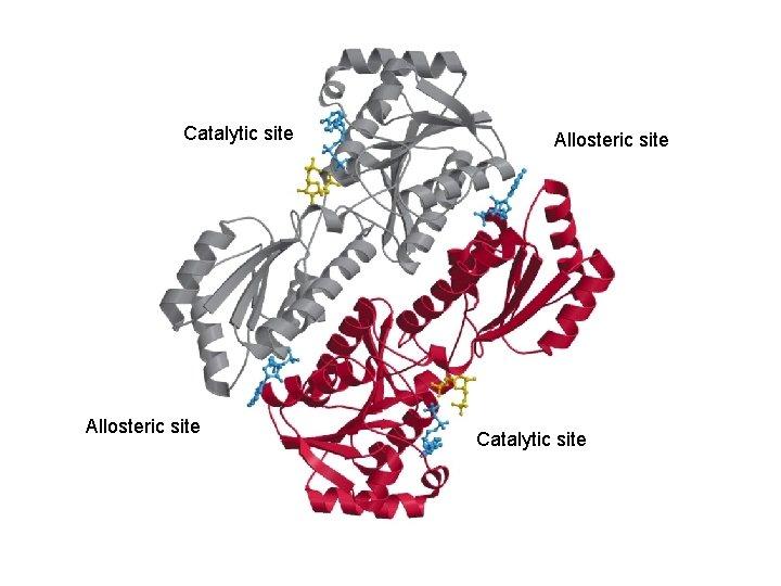 Catalytic site Allosteric site Catalytic site