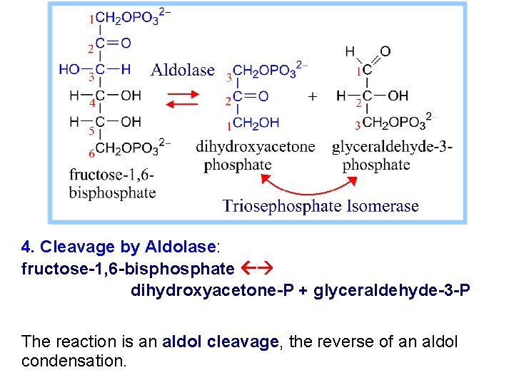 4. Cleavage by Aldolase: fructose-1, 6 -bisphosphate dihydroxyacetone-P + glyceraldehyde-3 -P The reaction is