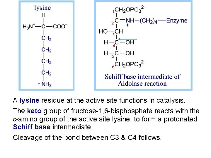 A lysine residue at the active site functions in catalysis. The keto group of