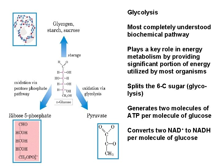 Glycolysis Most completely understood biochemical pathway Plays a key role in energy metabolism by