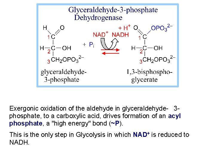 Exergonic oxidation of the aldehyde in glyceraldehyde- 3 phosphate, to a carboxylic acid, drives