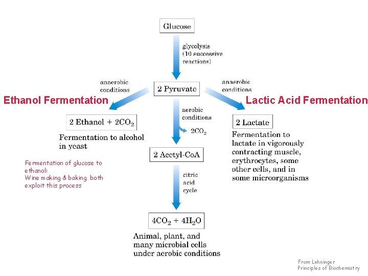 Ethanol Fermentation Lactic Acid Fermentation of glucose to ethanol: Wine making & baking both