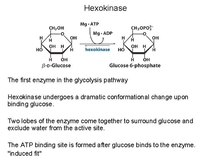 Hexokinase The first enzyme in the glycolysis pathway Hexokinase undergoes a dramatic conformational change
