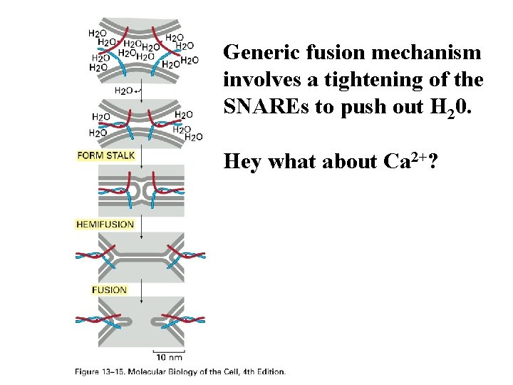 Generic fusion mechanism involves a tightening of the SNAREs to push out H 20.