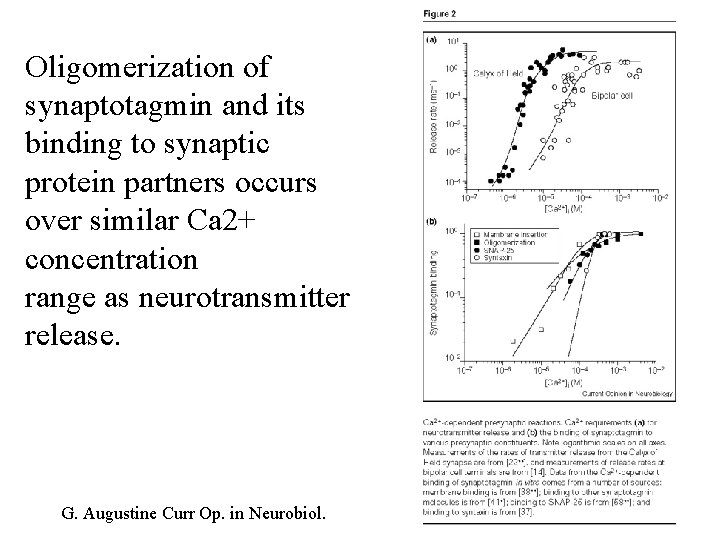 Oligomerization of synaptotagmin and its binding to synaptic protein partners occurs over similar Ca