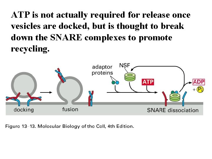 ATP is not actually required for release once vesicles are docked, but is thought