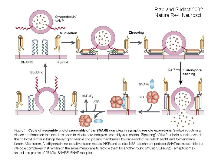 Rizo and Sudhof 2002 Nature Rev. Neurosci.