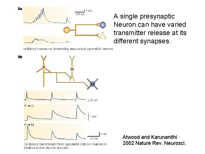 A single presynaptic Neuron can have varied transmitter release at its different synapses. Atwood