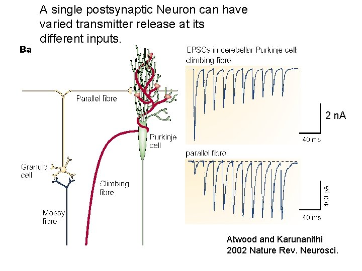 A single postsynaptic Neuron can have varied transmitter release at its different inputs. 2