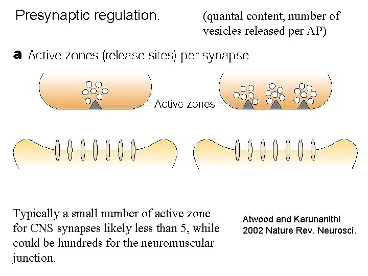 Presynaptic regulation. (quantal content, number of vesicles released per AP) Typically a small number