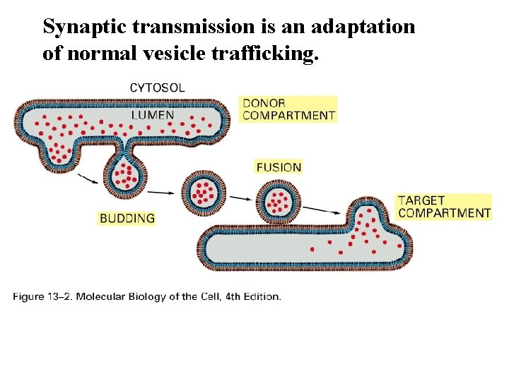 Synaptic transmission is an adaptation of normal vesicle trafficking.