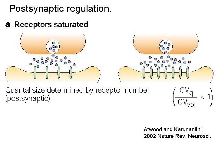 Postsynaptic regulation. Atwood and Karunanithi 2002 Nature Rev. Neurosci.