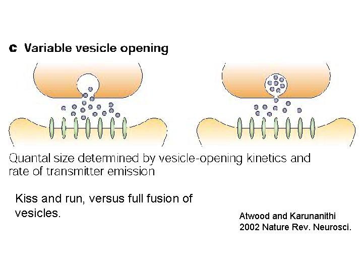 Kiss and run, versus full fusion of vesicles. Atwood and Karunanithi 2002 Nature Rev.