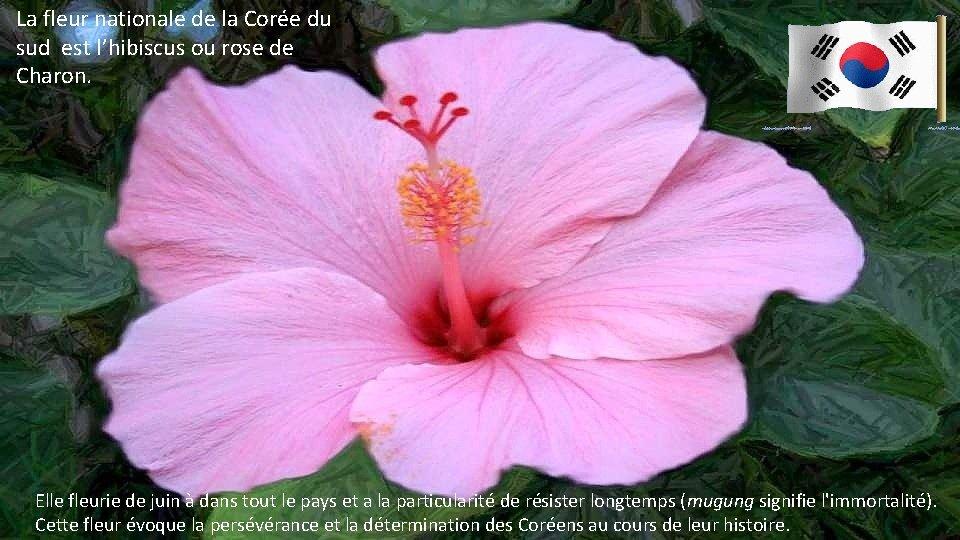 La fleur nationale de la Corée du sud est l'hibiscus ou rose de Charon.