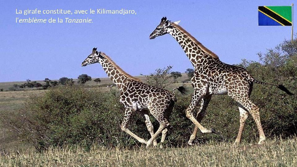 La girafe constitue, avec le Kilimandjaro, l'emblème de la Tanzanie.