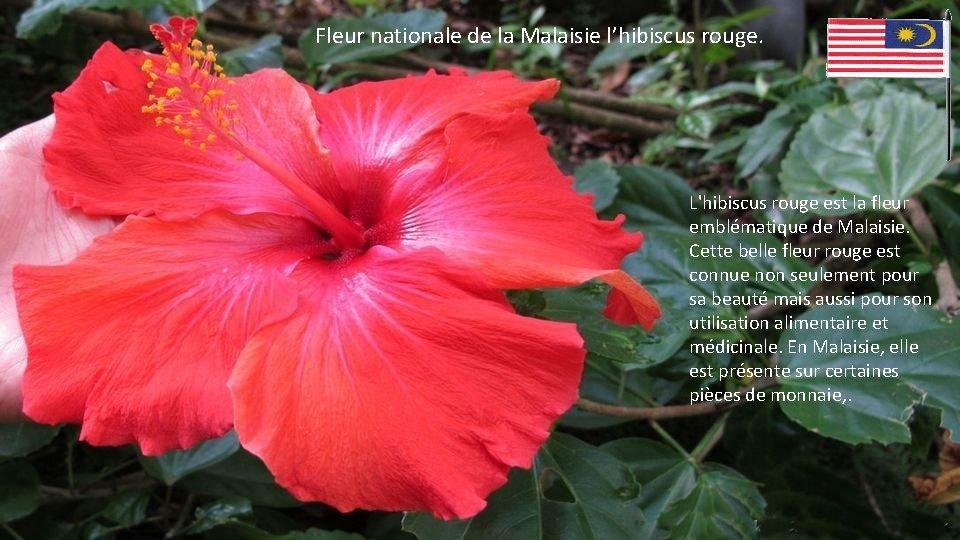 Fleur nationale de la Malaisie l'hibiscus rouge. L'hibiscus rouge est la fleur emblématique de
