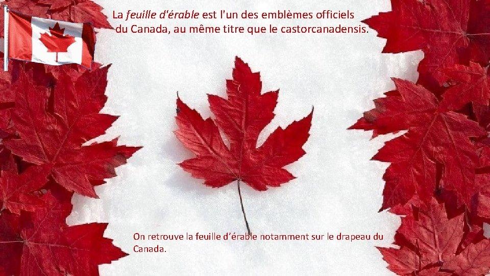 La feuille d'érable est l'un des emblèmes officiels du Canada, au même titre que