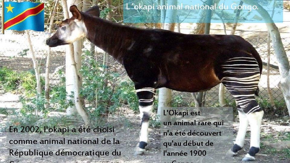 L 'okapi animal national du Gongo. En 2002, l'okapi a été choisi comme animal