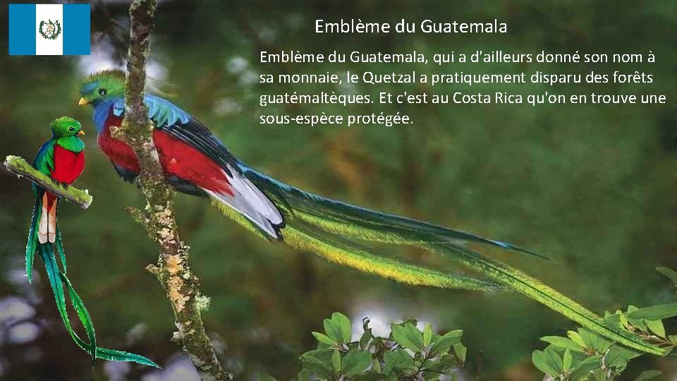 Emblème du Guatemala, qui a d'ailleurs donné son nom à sa monnaie, le Quetzal