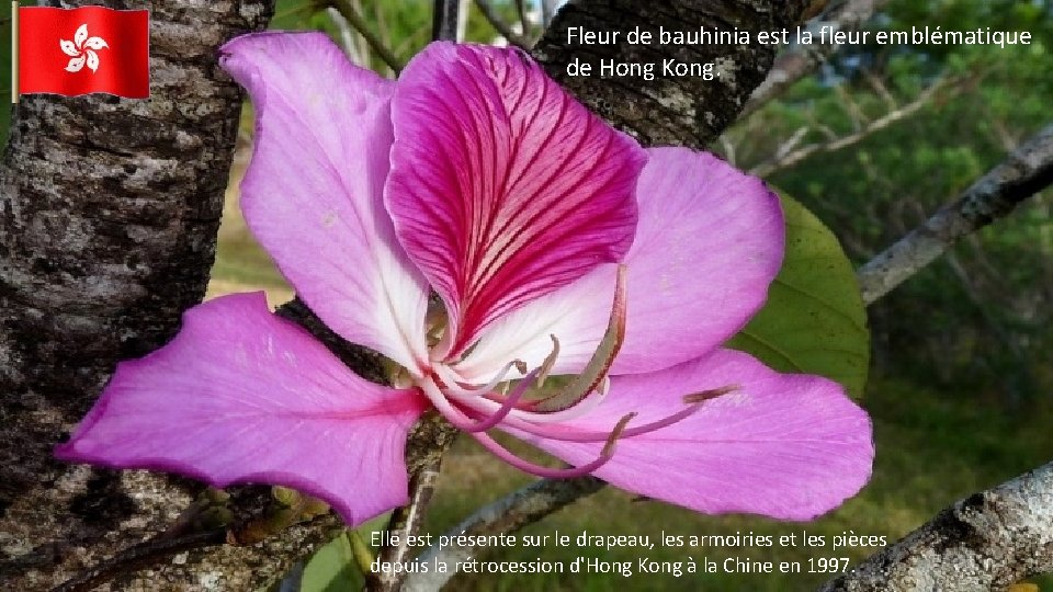 Fleur de bauhinia est la fleur emblématique de Hong Kong. Elle est présente sur