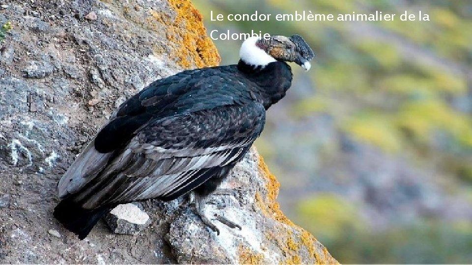 Le condor emblème animalier de la Colombie.