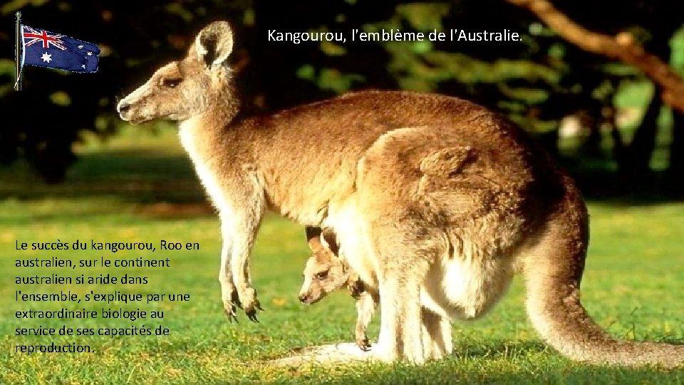 Kangourou, l'emblème de l'Australie. Le succès du kangourou, Roo en australien, sur le continent