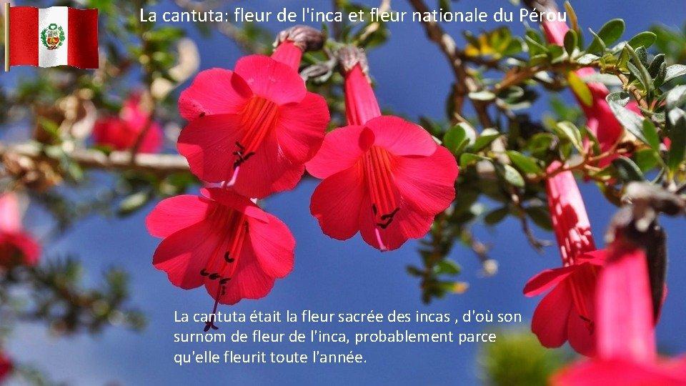 La cantuta: fleur de l'inca et fleur nationale du Pérou La cantuta était la