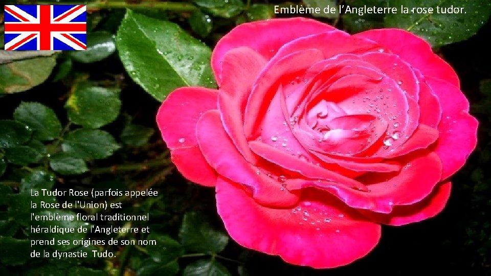 Emblème de l'Angleterre la rose tudor. La Tudor Rose (parfois appelée la Rose de
