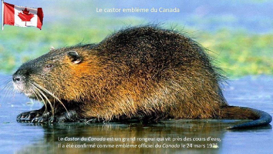 Le castor emblème du Canada Le Castor du Canada est un grand rongeur qui