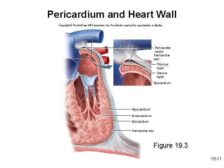 Pericardium and Heart Wall Copyright © The Mc. Graw-Hill Companies, Inc. Permission required for