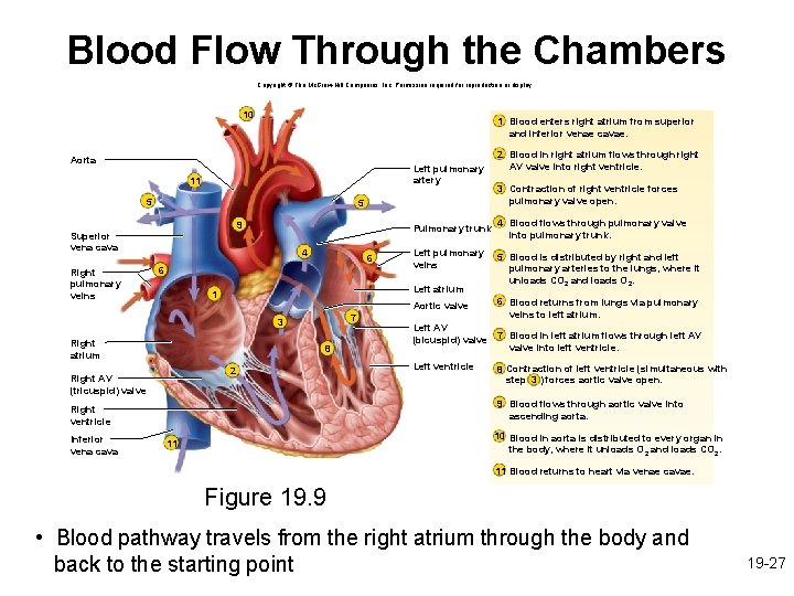 Blood Flow Through the Chambers Copyright © The Mc. Graw-Hill Companies, Inc. Permission required