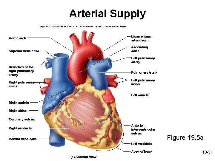 Arterial Supply Copyright © The Mc. Graw-Hill Companies, Inc. Permission required for reproduction or