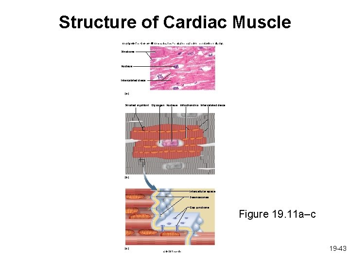Structure of Cardiac Muscle Copyright © The Mc. Graw-Hill Companies, Inc. Permission required for