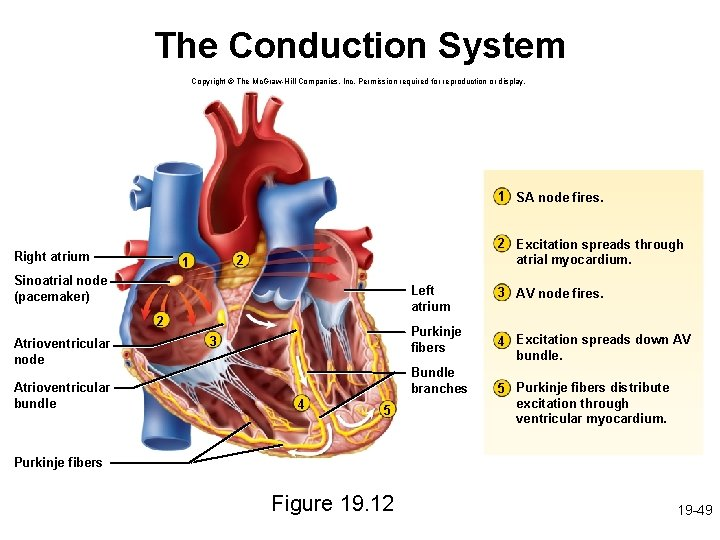 The Conduction System Copyright © The Mc. Graw-Hill Companies, Inc. Permission required for reproduction
