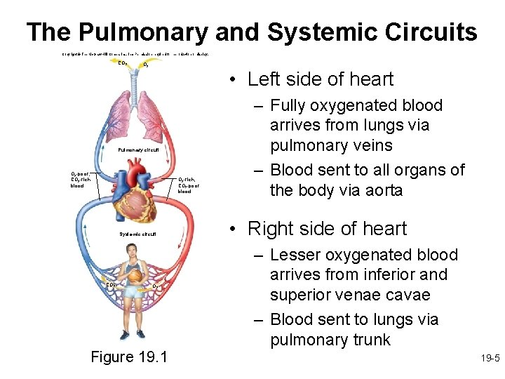 The Pulmonary and Systemic Circuits Copyright © The Mc. Graw-Hill Companies, Inc. Permission required