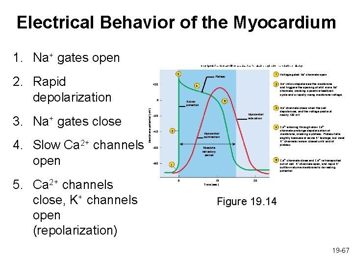 Electrical Behavior of the Myocardium 1. Na+ gates open Copyright © The Mc. Graw-Hill