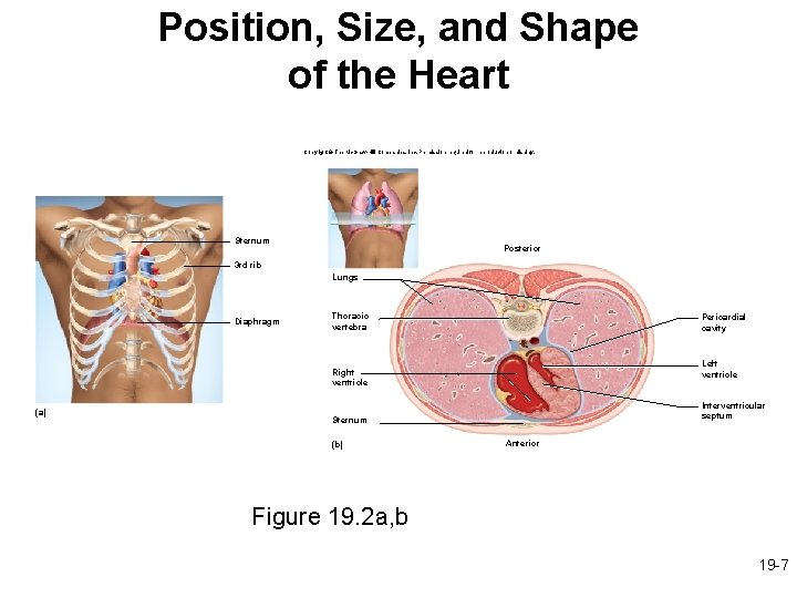 Position, Size, and Shape of the Heart Copyright © The Mc. Graw-Hill Companies, Inc.