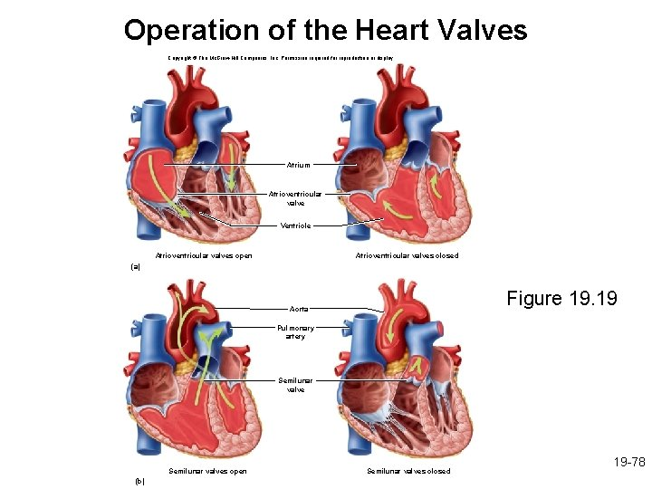 Operation of the Heart Valves Copyright © The Mc. Graw-Hill Companies, Inc. Permission required