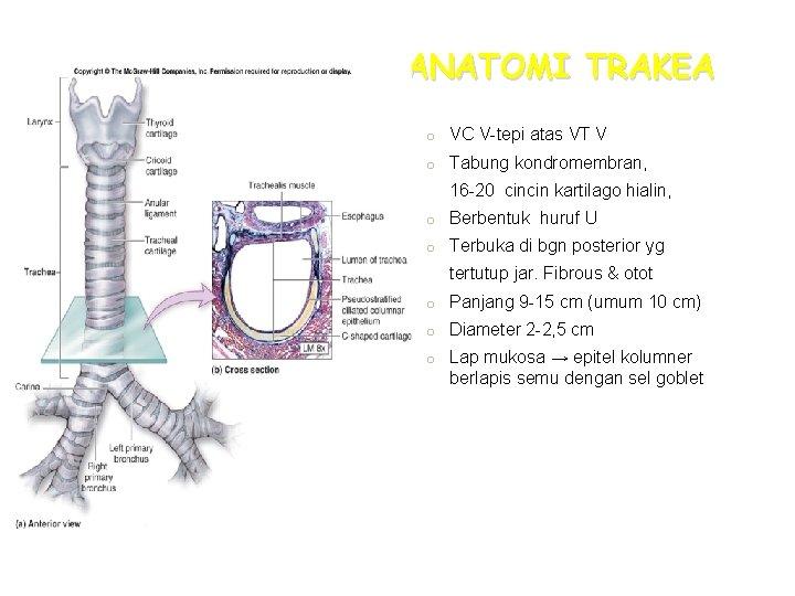 ANATOMI TRAKEA o VC V-tepi atas VT V o Tabung kondromembran, 16 -20 cincin