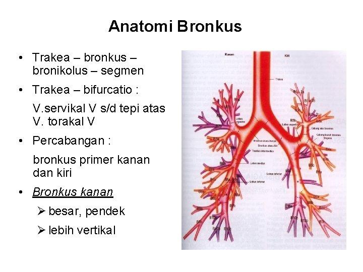 Anatomi Bronkus • Trakea – bronkus – bronikolus – segmen • Trakea – bifurcatio