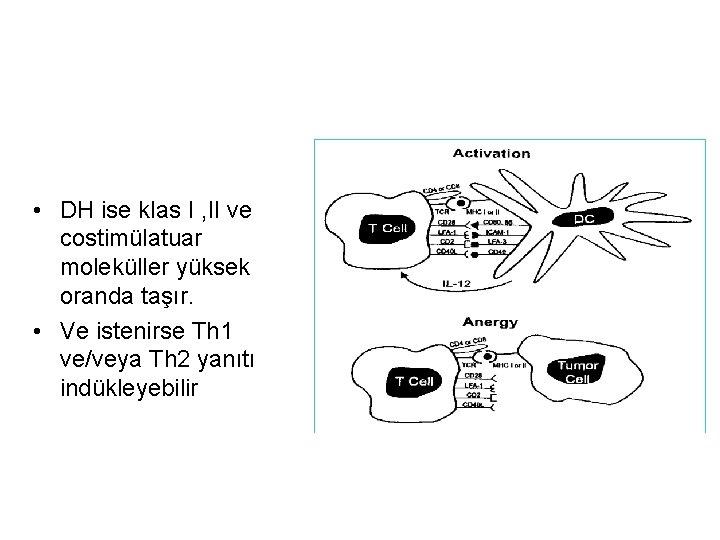 • DH ise klas I , II ve costimülatuar moleküller yüksek oranda taşır.