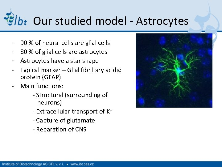 Our studied model - Astrocytes • • • 90 % of neural cells are