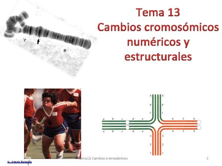 Tema 13 Cambios cromosómicos numéricos y estructurales Dr. Antonio Barbadilla 1 Tema 13 Cambios