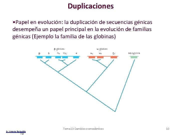 Duplicaciones • Papel en evolución: la duplicación de secuencias génicas desempeña un papel principal