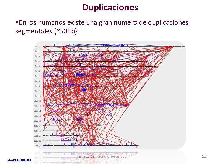 Duplicaciones • En los humanos existe una gran número de duplicaciones segmentales (~50 Kb)