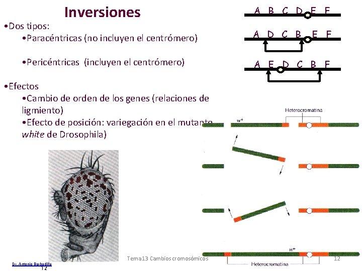 Inversiones • Dos tipos: • Paracéntricas (no incluyen el centrómero) • Pericéntricas (incluyen el