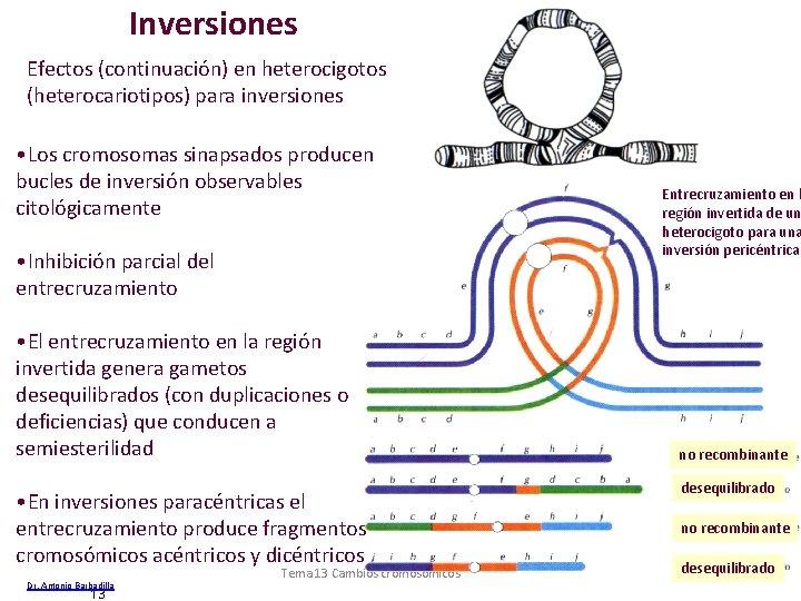 Inversiones Efectos (continuación) en heterocigotos (heterocariotipos) para inversiones • Los cromosomas sinapsados producen bucles