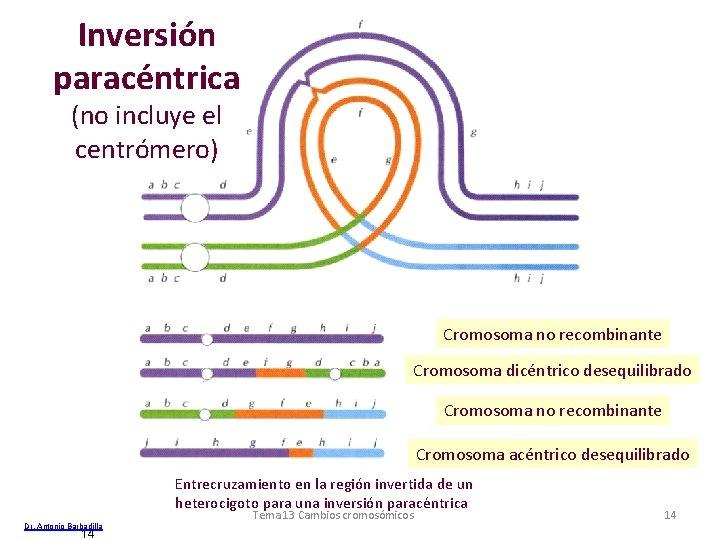 Inversión paracéntrica (no incluye el centrómero) Cromosoma no recombinante Cromosoma dicéntrico desequilibrado Cromosoma no